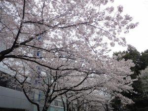 本社前の桜が満開です!儚いものですが、それもまた美しいですね