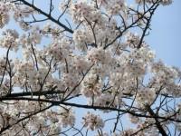 青空に桜が映えますね!