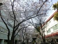 桜並木が綺麗です!